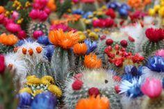 Cactus, Flor, Botánico, Desierto