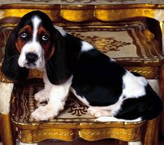 What a face, Basset Hound