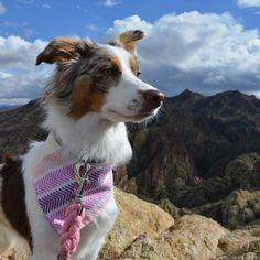 I'm the queen of the world! I've noticed Arya loves to pose looking to that side and off into the distance #signaturepose haha! Bandana: @hootandco Leash: @thebarkingship  #miniaussie #aussiesofinstagram #redmerle #dogsofinstagram #petstagram  #australianshepherd  #dogoftheday #doglover #dog_features #aplacetolovedogs  #sendadogphoto #lacyandpaws  #dogsofinstaworld #petsofinstaworld #bestwoof  #animaladdicts #excellent_dogs #dogsandpals #animalsco  #dogsofficialdog #topdogphoto #dogscorner…