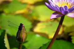Dragon Fly On Bud And Water Lily Horizontal #1 Copyright Heather J. Kirk