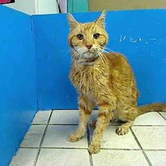 """TO BE DESTROYED 9/22/12 NY*  My name is EUGENE. My Animal ID # is A0946136. A volunteer said:""""It breaks my heart to pieces seeing a beloved and devoted pet of 16 yrs dumped at a high kill shelter by the only family he's known and loved.Eugene is such a sweet boy, he allowed the staff members to pet him and handle him. Eugene is a boy who is still full of life and just needs some TLC from a special person who will take care of him"""". If you can help and save him, please act fast."""