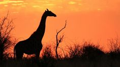 Botswana giraffe See more: http://qosy.co/african-safari-guide/
