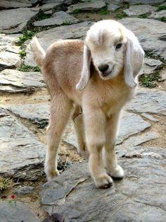 Cute animals world: Beautiful Goats Cute Baby Animals, Farm Animals, Animals And Pets, Funny Animals, Small Animals, Cute Goats, Baby Goats, Pet Birds, Animals Beautiful