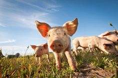 COMPLETELY WEIRD HOLIDAYS IN MARCH Ѽ March 1: National Pig Day § Not to be confused with National Bacon Day. © Tommy Alsén/Getty Images