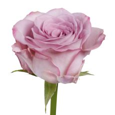 Rose Memory Lane - is more lilac, would sit nicely with other purple colours.