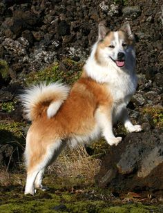 Icelandic Sheepdog. They are members of the herding group. They are great cattle, horse, and sheep herders. They stand at 16 1/2-18 inches at the shoulder and weigh about 20-30 pounds.