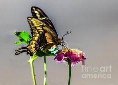 Swallowtail Butterfly: See more images at http://robert-bales.artistwebsites.com/