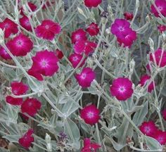 Lychnis coronaria or Silene coronaria / Rose Campion