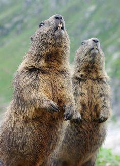 Marmots by Arturas Prokarenka