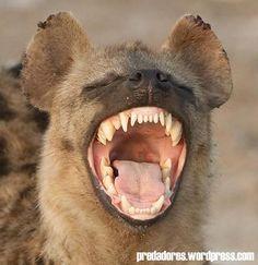 Hienas - Animais perigosos