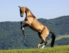 Akhal-teke stallion Abebe