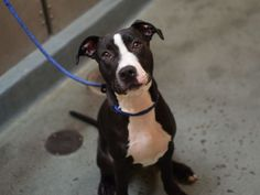 PANDA - A1088750 - - Brooklyn  Please Share:TO BE DESTROYED 09/13/16 **6 MONTH-OLD PUPPY!!!** Panda is an adorable, male, black and white pit bull puppy who finds himself sitting in a cold, hard kennel tonight by no fault of his own. It appears Panda's former owner's like small things. At six months-old and 41 lbs, Panda was given up because they were having a new baby. He is a friendly, loving, exuberant, playful guy, who does well with children, adults, cats,