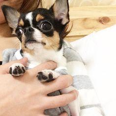 TV鑑賞なう #2人の#洋服がかぶって#二人羽織みたいになってるやん#チワワ#ちわわ#スムチ#スムチー#スムースチワワ#極小#chihuahua #instadog #instachihuahua #dogoftheday #baby #cute #子犬 #ブラックタン #ブラタン #ブラックタンアンドホワイト #愛犬 #チワワ部 #癒しワンコ#치와와