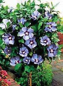 7 Best Rose Of Sharon Tree Images In 2014 Rose Of Sharon Tree