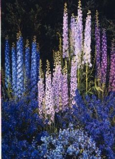50 Blue Purple Delphunium Mix Seeds Perennial GIant Garden Flower Bright Sun Shade Exotic Yard Patio Deck Container Plumeria Seed Hardy Flower Landscape In Garden Delphinium Flowers, Delphiniums, Flowers Perennials, Blue Flowers, Planting Flowers, Flower Gardening, Container Gardening, Flowers Garden, Small Flowers