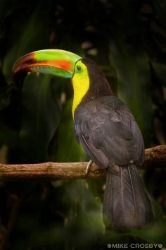 Magnificent toucan. betterphoto.com