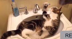 I love fat cats! I love fat cats! Cute Cat Gif, Cute Funny Animals, Cute Baby Animals, Animals And Pets, Funny Cats, Cats Humor, Funny Horses, Fluffy Animals, Cute Kittens