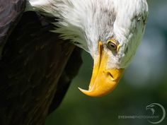 Coming soon...a video with many of my bald eagles photo's.  Share the beauty of the eagles!  #baldeagle #eagle #birdsofprey