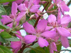 Ficha de la Tibouchina | Cuidar de tus plantas es facilisimo.com