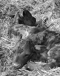 Two day old calves.