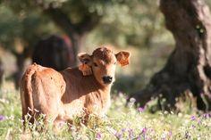Nuestra ganadería (17)