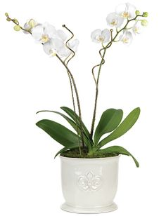 Double White Phalaenopsis Starting at $69.95 #Orchid #GiftIdeas