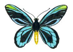 "Queen Alexandra' s birdwing butterfly Acrylic Tray by Katerina Kirilova - Medium 15 1/2"" x 12"" Butterfly Canvas, Butterfly Drawing, Butterfly Painting, Green Butterfly, Butterfly Wings, Bird Wings, Art Friend, Diy Canvas Art, Life Tattoos"