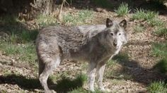 Calgary Zoo has a history of questionable animal welfare practices — the euthanasia of a popular grey wolf is just the latest.