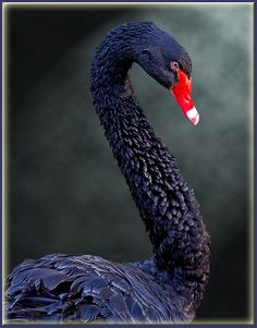 ^Black swan