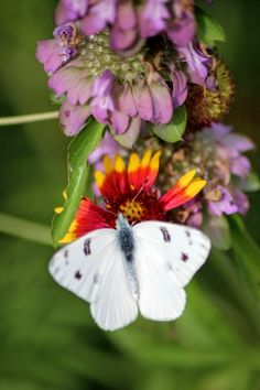 Rock-Oak-Deer: Checkered White Butterfly on Indian Blanket (Gaillardia pulchella) and Lemon Beebalm (Monarda citriodora).