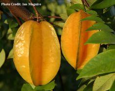 Carambola (fruta estrella)