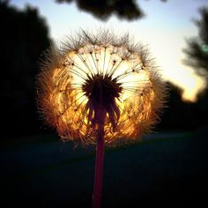a photo of a dandelion at sunrise.