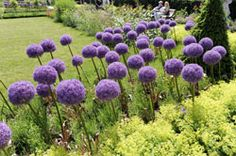 Zierlauch pflanzen – 5 wichtige Tipps If you want a real eye-catcher in the garden, then you should plant ornamental onion. Here are 5 tips [. Witch Garden, Amazing Gardens, Garden Ornaments, Plants, Garden Images, Plant Pictures, Garden Edging, Garden Plants, Landscaping Plants