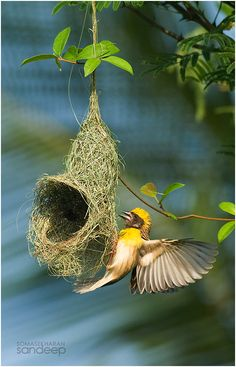 Tough work... | A male baya weaver toils against deadlines on a nest which he ought to complete to get a lady!