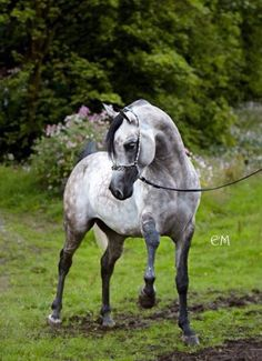 PSY DREAM (Pystadel x LA Diva) 2005 Arabian stallion