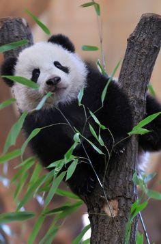 I love bamboo shoots - Baby Panda