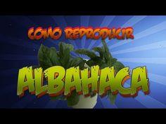 Cómo cultivar albahaca en macetas dentro de casa