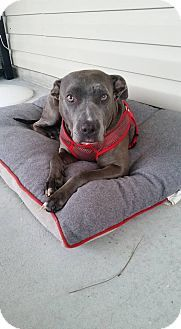 American Pit Bull Terrier Mix Dog for adoption in Englewood, Florida - Melanie