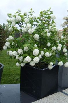 1000 ideas about viburnum opulus on pinterest viburnum - Plante boule de neige ...