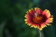 Yellow and red flower  by Андрей Майоров  on 500px