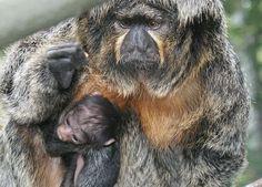rare Crested Capuchin Monkey