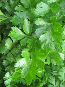 Parsley (Gigante d'Italia from Hudson Valley Seed Library)