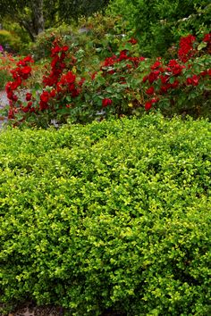 Boxwood 'Green Beauty' - xcellent evergreen shrub for small hedges. Retains its dark green foliage in the hottest summers, becoming bronze tinged in cold weather. Select over other English varieties for more heat and drought tolerance. Landscaping Plants, Garden Plants, Landscaping Ideas, English Boxwood, Japanese Boxwood, Monrovia Plants, Large Flower Pots, Plant Catalogs, Evergreen Shrubs