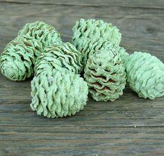Száraz termés (meridianum) toboz festett világoszöld színben. Egyre népszerűbbek a színes tobozok.