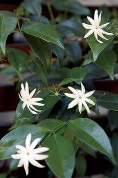 Se tem um jasmim-estrela em casa, nós vamos explicar tudo o que precisa saber para cuidar dele. #jasmimestrela #plantas #jardim #flores
