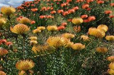 Assorted Pincushions - Pincushion - Proteas and Leucadendrons - Flowers by category Planting Flowers, Plants, Ca Grown, Yard, Growing, Flower Field, Protea, Flowers