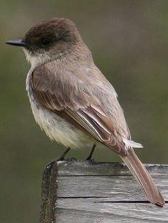 Eastern Phoebe - one of my favorite little birds