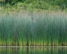 Bulrush Schoenoplectus spp. shoots and lower stalk are edible raw. growing tips of rhizome are edible raw. dried rhizome can be crushed to r...