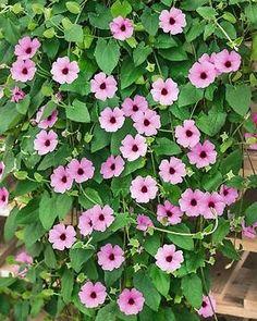 Mustasilmäsusanna vaaleanpunainen Home And Garden, Herbs, Plants, Purple, Garden, Outdoor, Secret Garden, Outdoor Gardens, Flowers