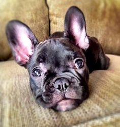 Champagne the French Bulldog, I didn't hear you, what did you say???